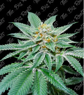 THE BIG ROOTS WHITE WIDOW