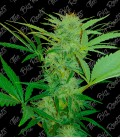 THE BIG ROOTS CHRONIC AUTO (3+2UDS)